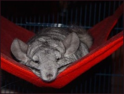 Medium image of chinchilla in fleece hammock